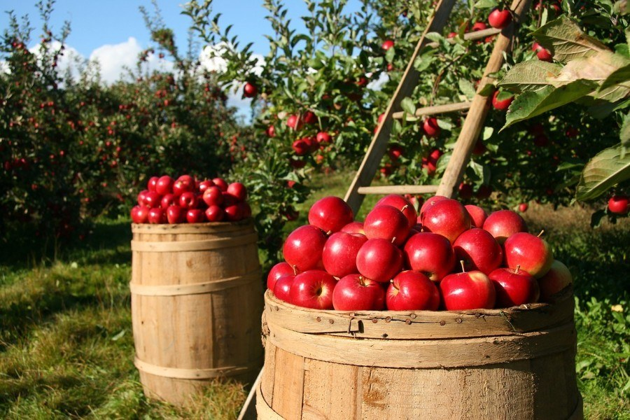 jak oloupat a nakrájet velké množství jablek
